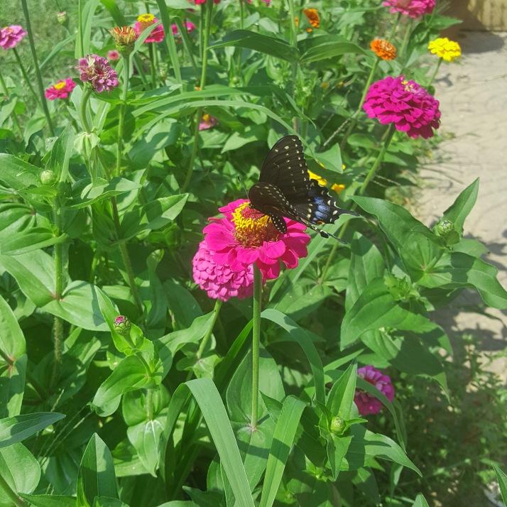 Backyard Black Spotted Butterfly