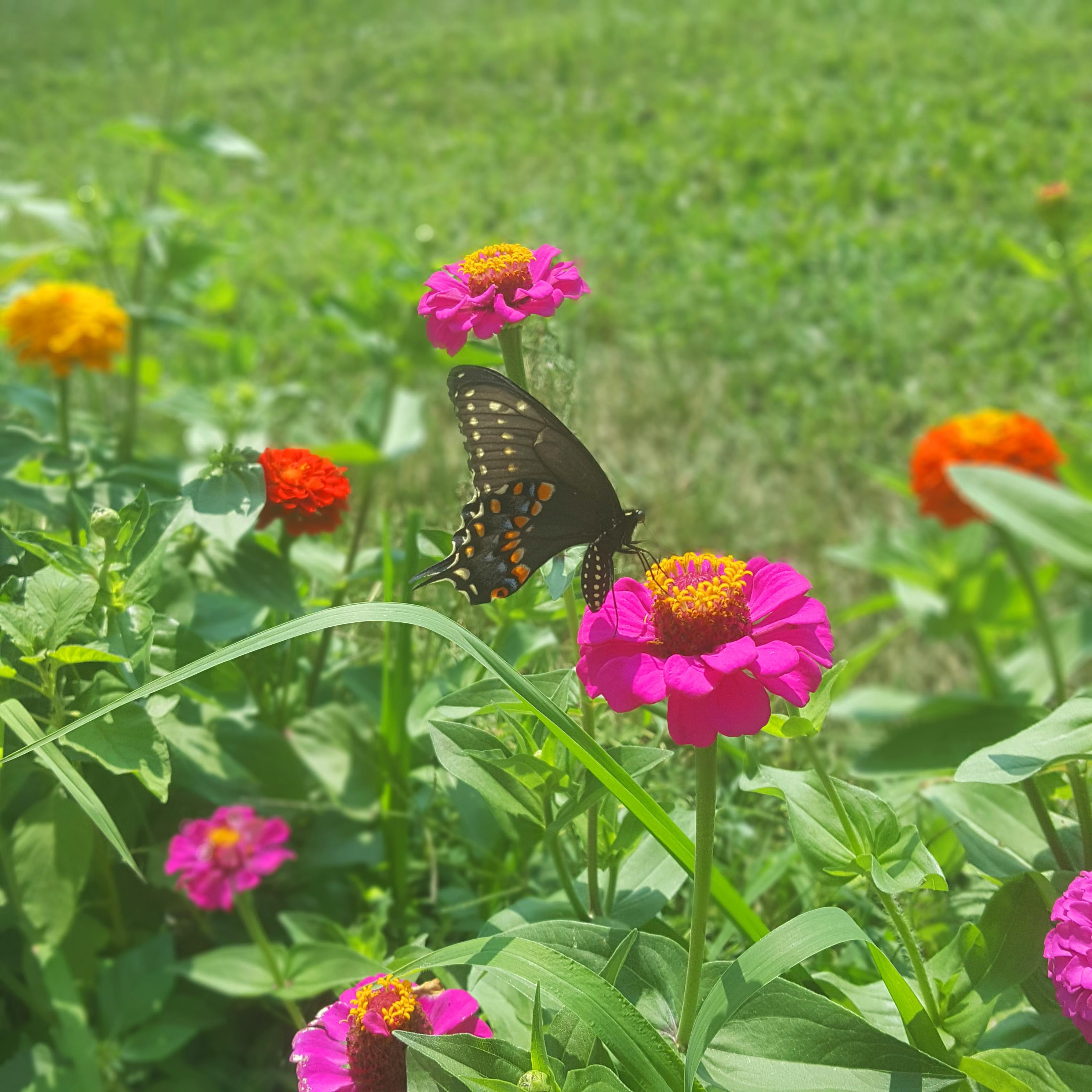 Backyard Black Spotted Butterfly2