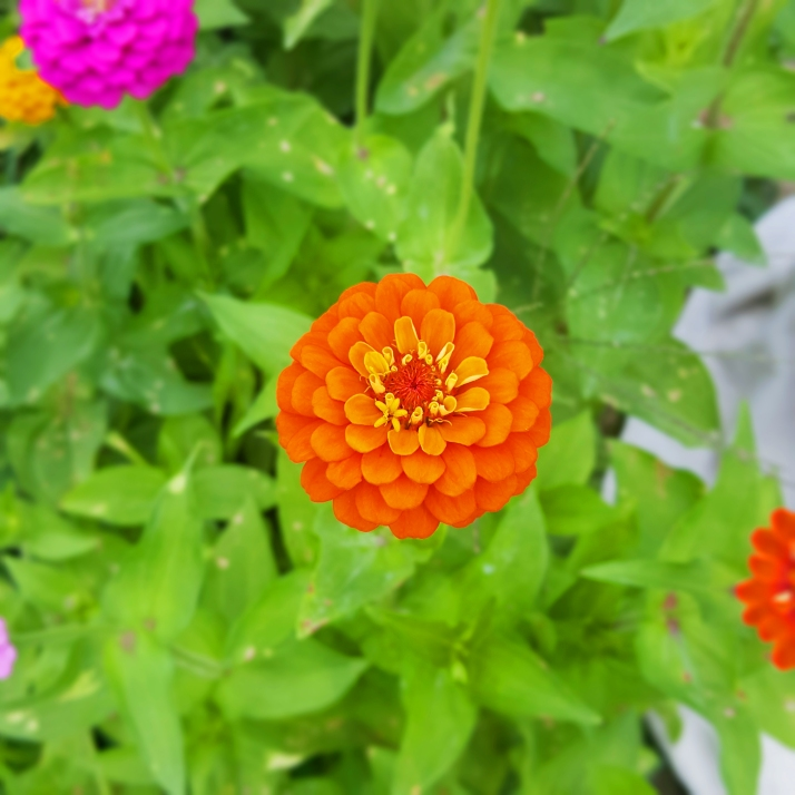 Backyard Orange Zinnia