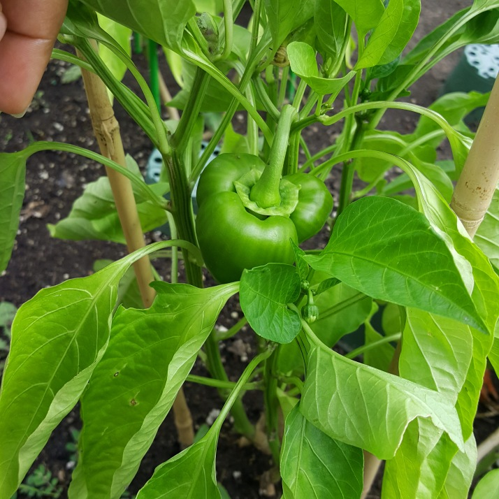 Backyard Pepper in Garden