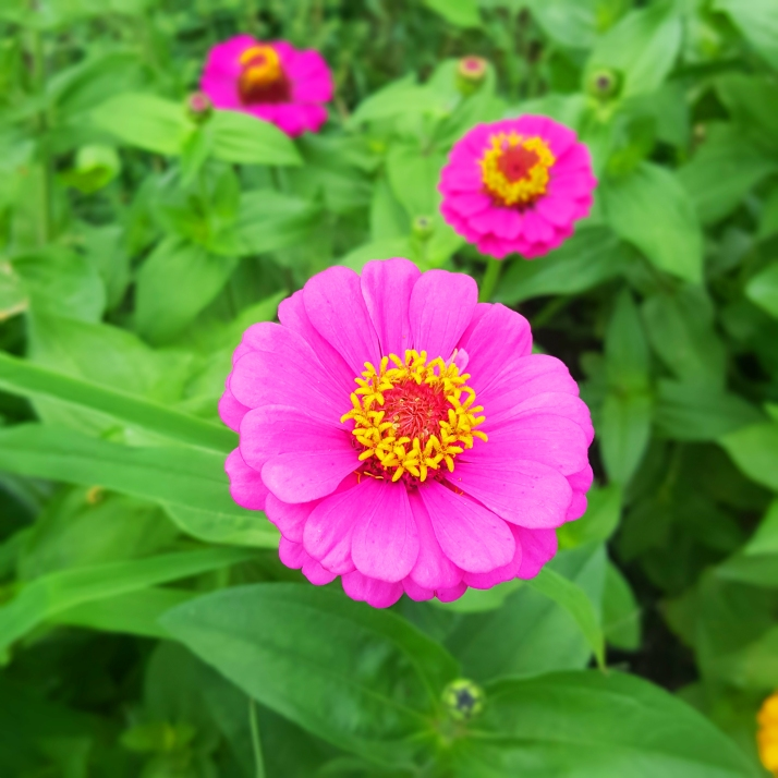 Backyard Pink Zinnia